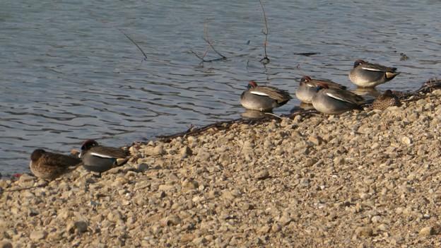 池沿いで眠るコガモの群れ - 1