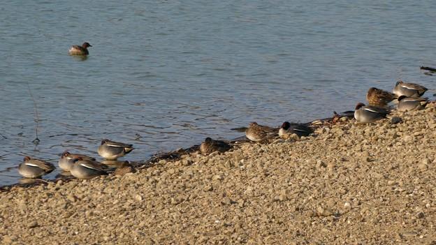池沿いで眠るコガモの群れ - 4