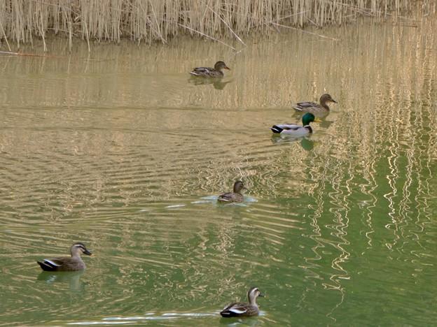 太良池にいたマガモとカルガモの混群 - 1