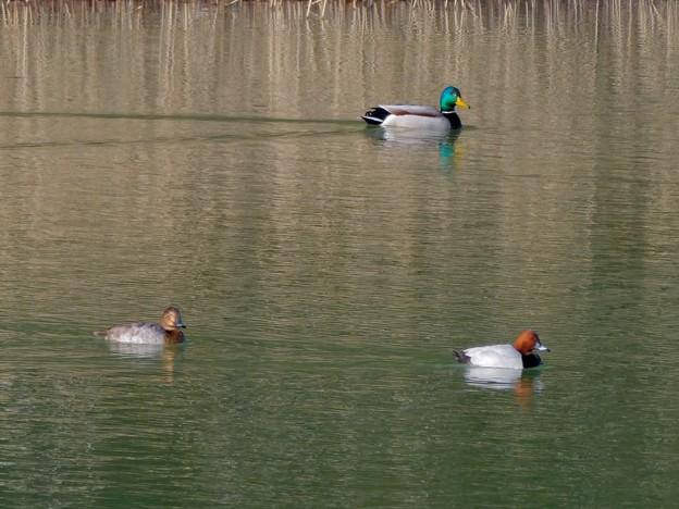 太良池にいたマガモとホシハジロ - 1