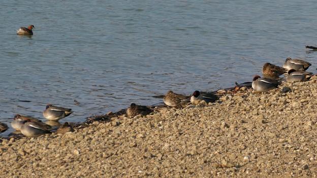 池沿いで眠るコガモの群れ - 3