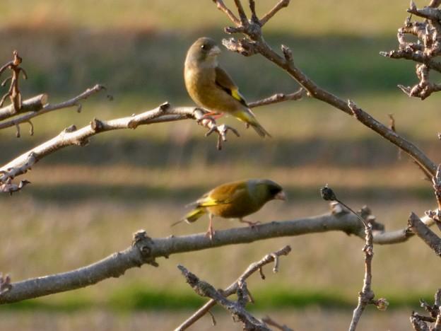 木にとまるカワラヒラ - 4