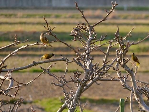 木にとまるカワラヒラ - 3