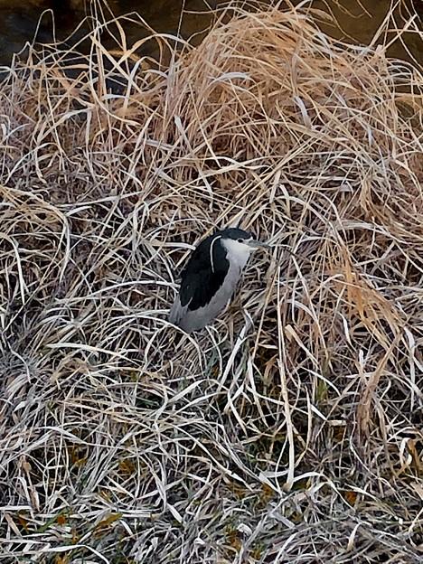生地川沿いの草むらで毛づくろいしてたゴイサギ - 8