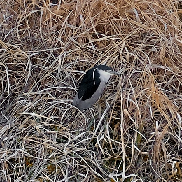 生地川沿いの草むらで毛づくろいしてたゴイサギ - 9
