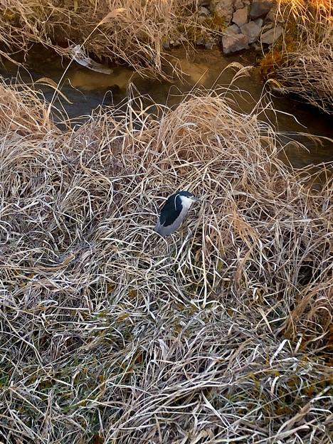 生地川沿いの草むらで毛づくろいしてたゴイサギ - 10