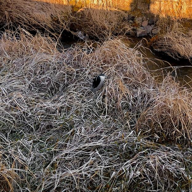 生地川沿いの草むらで毛づくろいしてたゴイサギ - 14