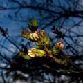 今年は蕾が膨らむのが早い、落合公園のソメイヨシノ(2021年3月15日)