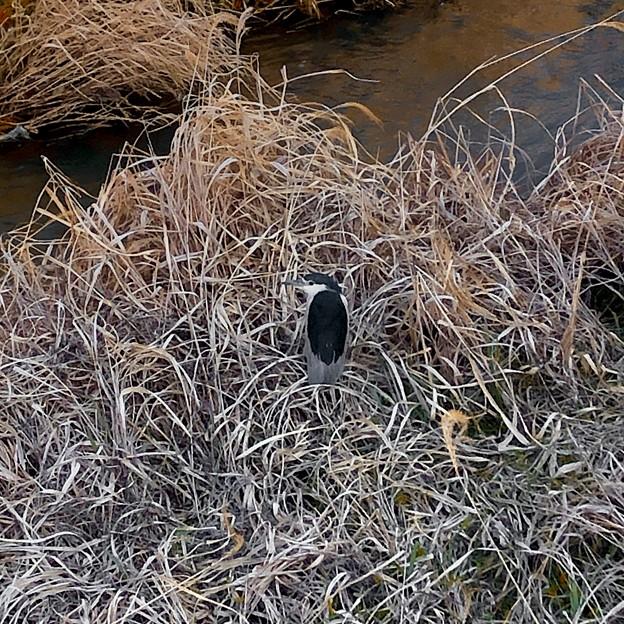 生地川沿いの草むらで毛づくろいしてたゴイサギ - 13