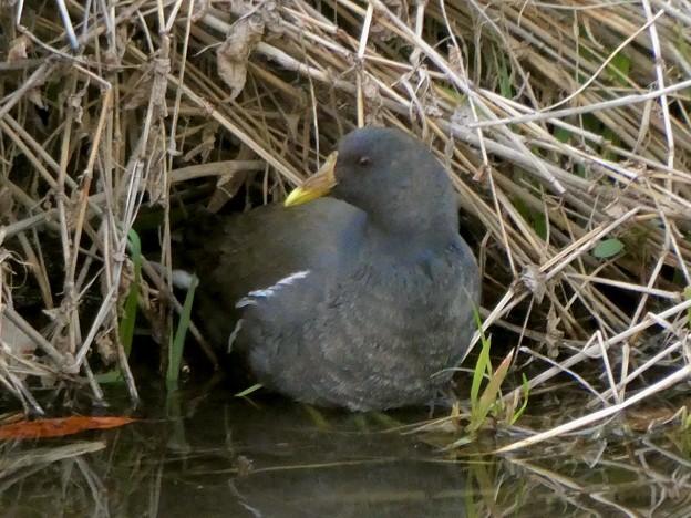 大谷川にいたバンの幼鳥 - 3