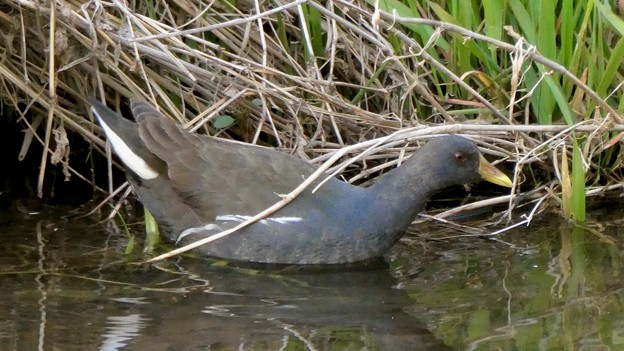 大谷川にいたバンの幼鳥 - 4