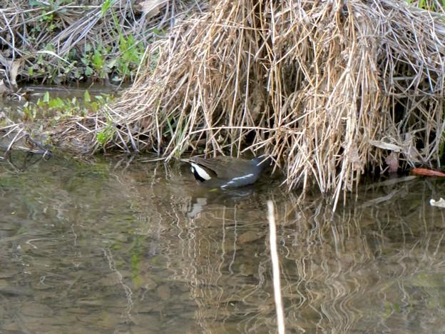 大谷川にいたバンの幼鳥 - 1