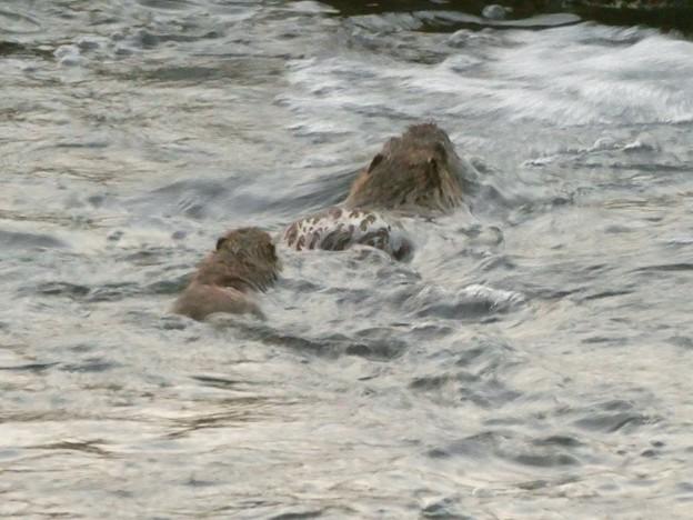 内津川を泳ぐ2頭のヌートリア - 2