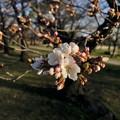 もう咲いてた落合公園の桜(2021年3月18日)