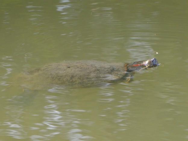 カエルみたいに目だけを出して泳いでた亀 - 1