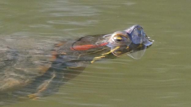 カエルみたいに目だけを出して泳いでた亀 - 2