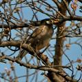 木の上にとまるムクドリ