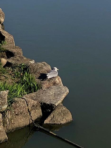池の岩の上で休憩してた?カモメ - 1