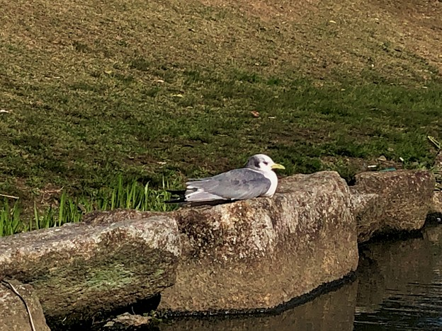 池の岩の上で休憩してた?カモメ - 3