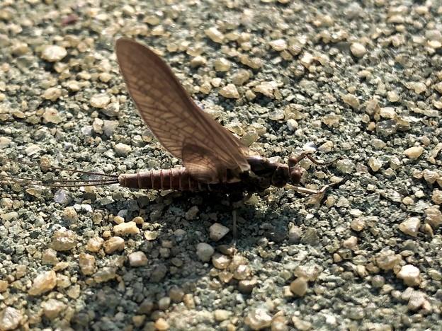 強風に飛ばされないように地面に掴まっていたカゲロウ(たぶんマダラカゲロウ) - 2