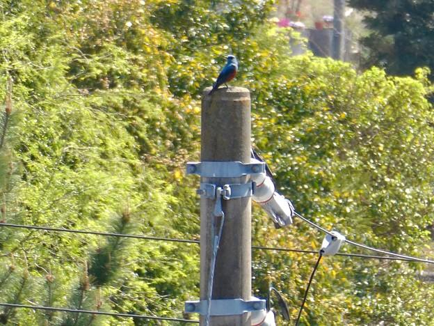 都市に住むイソヒヨドリ - 1:電柱の上で鳴く