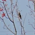 垂直に近い枝にとまるムクドリ - 1