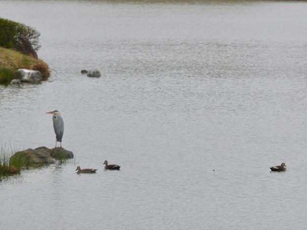 池に佇むアオサギとそばにいるカルガモ - 1