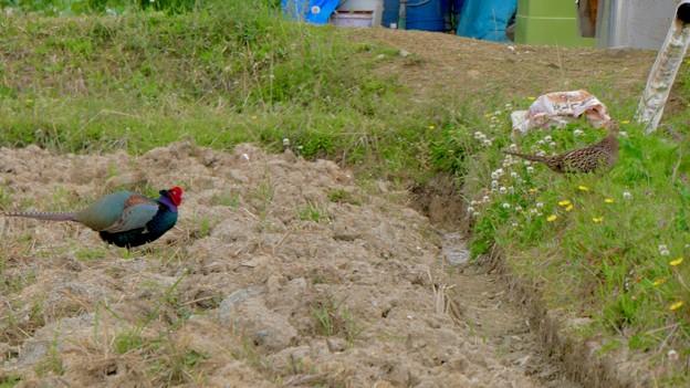 太良池近くの田んぼにいたキジ - 25