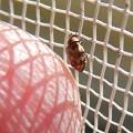 網戸の上にいたヒメマルカツオブシムシ - 4