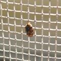 網戸の上にいたヒメマルカツオブシムシ - 6
