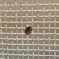 網戸の上にいたヒメマルカツオブシムシ - 7