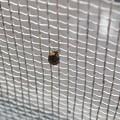 網戸の上にいたヒメマルカツオブシムシ - 1