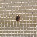 網戸の上にいたヒメマルカツオブシムシ - 9