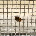 網戸の上にいたヒメマルカツオブシムシ - 10
