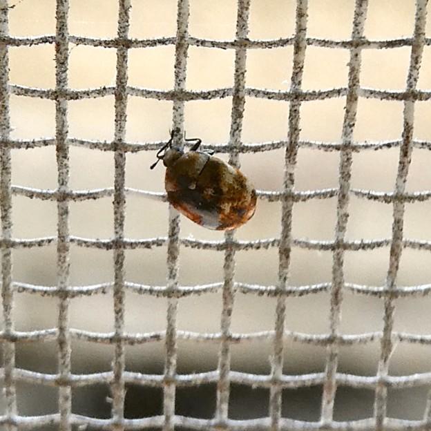 網戸の上にいたヒメマルカツオブシムシ - 11