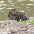 池沿いにいたコガモのつがい - 3
