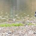 池沿いにいたコガモのつがい - 4