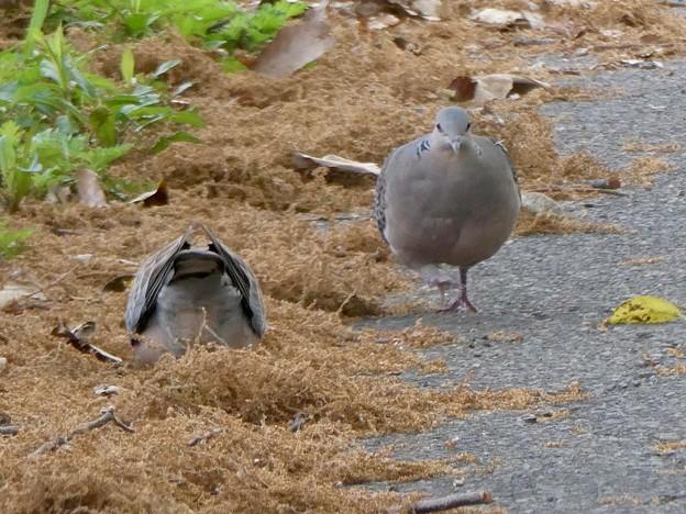 楽しそうに歩いていた鳩 - 3