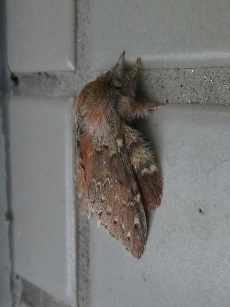 小幡緑地のトイレの壁にいたシャチホコガ - 4