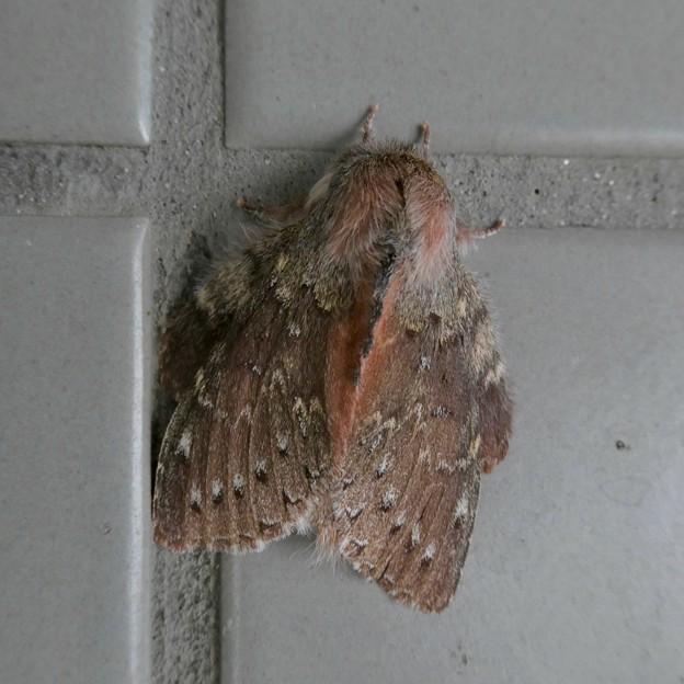 小幡緑地のトイレの壁にいたシャチホコガ - 5
