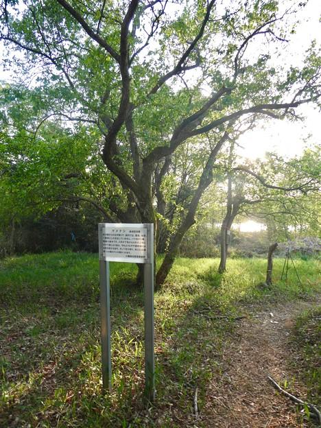 緑ヶ池沿いに自生してるマメナシ - 1