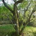 緑ヶ池沿いに自生してるマメナシ - 2