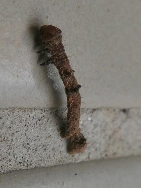 小幡緑地のトイレにいた毛の生えたシャクトリムシ