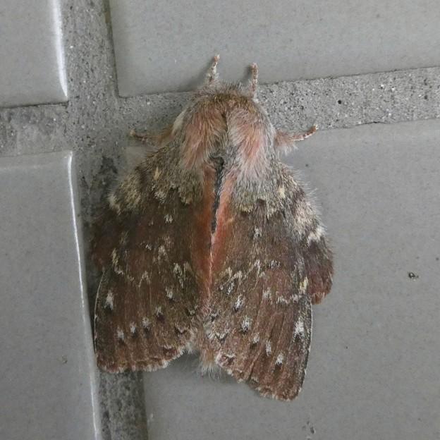 小幡緑地のトイレの壁にいたシャチホコガ - 1
