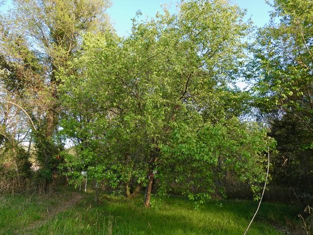 緑ヶ池沿いに自生してるマメナシ - 3