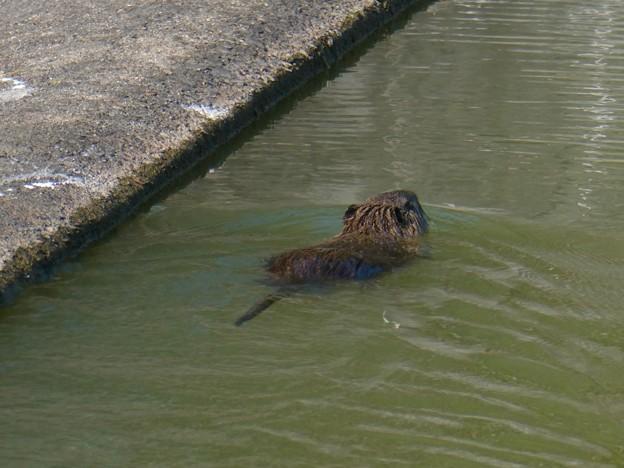 太良池にもいたヌートリア - 1