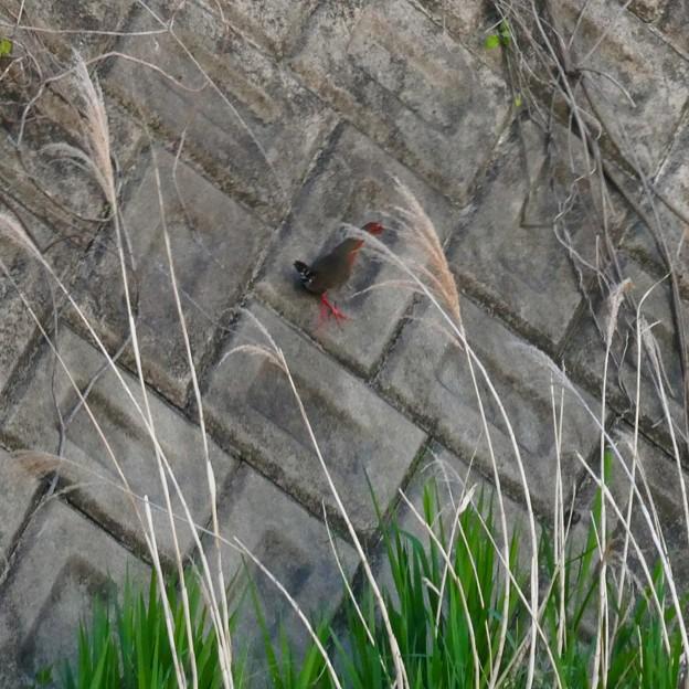 大谷川にいたヒクイナ - 5:斜面を駆け上がるヒクイナ