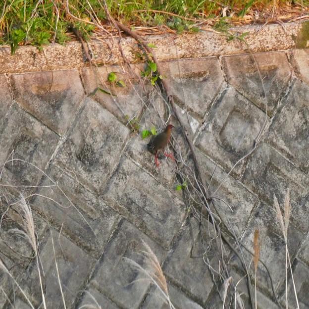 大谷川にいたヒクイナ - 6:斜面を駆け上がるヒクイナ