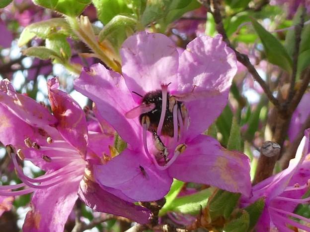 弥勒山山頂のツツジの蜜を集めていたマルハナバチ(たぶんクロマルハナバチ) - 1