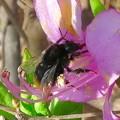 弥勒山山頂のツツジの蜜を集めていたマルハナバチ(たぶんクロマルハナバチ) - 3